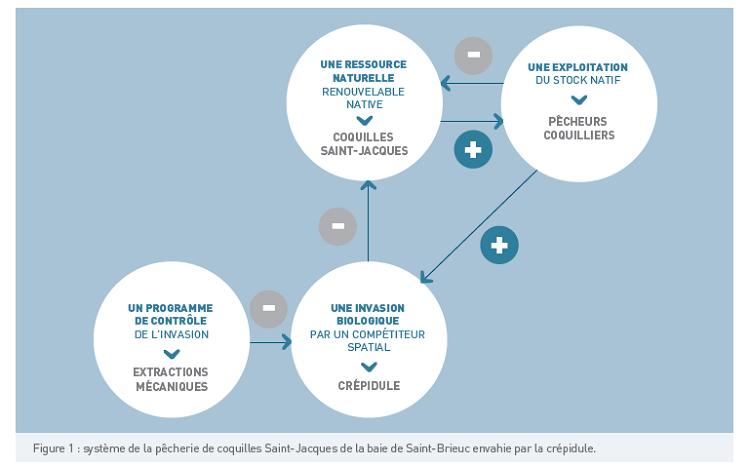 système de la pêcherie de coquilles Saint-Jacques de la baie de Saint-Brieuc envahie par la crépidule.