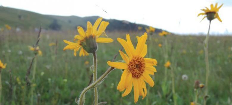 Arnica en fleur au Markstein