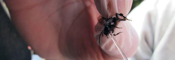Mesure de la quantité de nectar stockée dans le jabot d'une Abeille sauvage à l'aide d'un tube capillaire. Cette technique de prélèvementnon-invasive permet ensuite de relâcher les insectes dans leur environnement. © Richard Nouaze - Inra