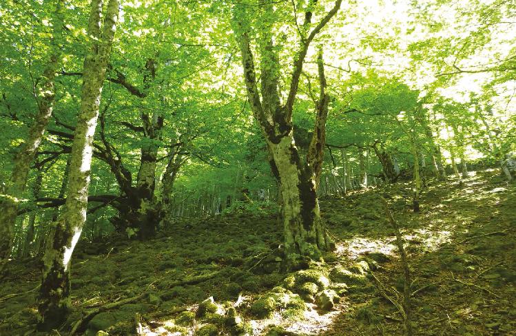 Peuplement feuillu irrégulier dans une forêt ancienne du Parc national des Cévennes (forêt domaniale du Marquairès).