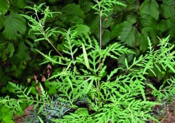 Ambrosia artemisiifolia © G.-U. Tolkhein