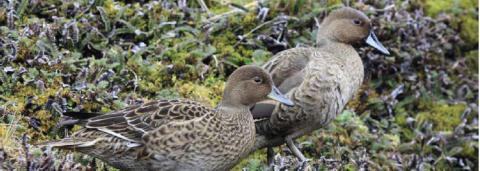 Les îles Kerguelen abritent une population de plusieurs milliers de couples de Canards d'Eaton, mais leur présence était jusqu'à présent peu documentée. © Antoine Dervaux