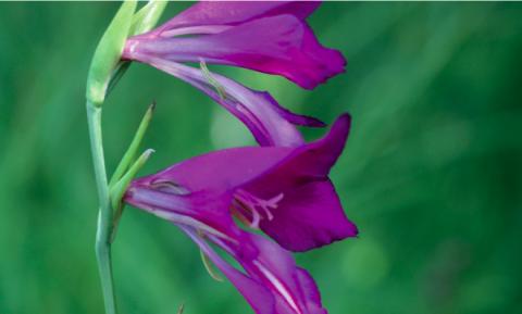 Le Glaïeul des marais, Gladiolus palustris, disparaît du fait de la raréfaction des zones humides.