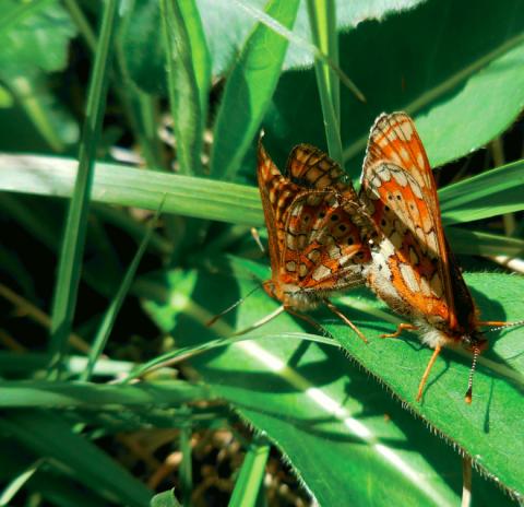 Le Damier de la succise (Euphydryas aurinia), que l'on croyait disparu, a été retrouvé en 2012 sur les coteaux du Boulonnais.