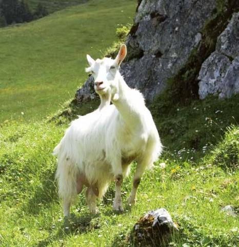 Chèvre d'Appenzell, particulièrement adaptée à la pratique de la transhumance.
