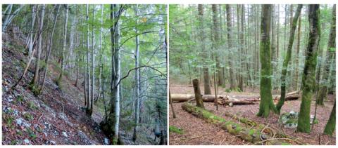 Exemple de forêts récentes et anciennes, peu et très matures, dans les Alpes du Nord. La présence de gros bois morts en forêts récentes permet, comme en forêt ancienne, de supporter une large diversité d'espèces, comme c'est le cas des saproxyliques.