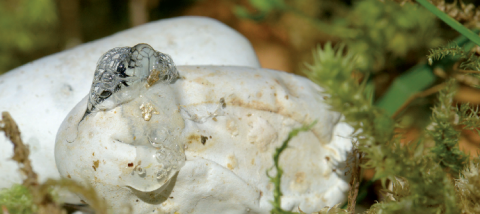 Éclosion d'une Couleuvre à collier. © Françoise Serre-Collet, MNHN