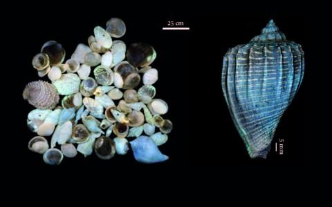 Échantillons de fossiles variés (à gauche) et Athleta (Neoathleta) citharoedus, MNHN A25029 (à droite) prélevés à Grignon et photographiés sous lumière UV. © P. Loubry - MNHN