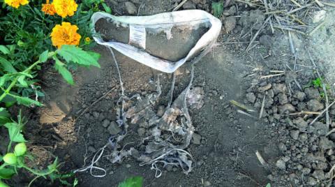 L'opération « Plante ton slip » consiste à enterrer un slip 100 % coton pendant deux mois. Plus il est dégradé, plus l'activité biologique du sol a été importante.    © A. Pierart