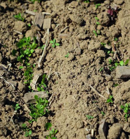 Parcelle en bio et en agroforesterie ayant reçu 150 m3/ha de copeaux de bois au printemps 2020. L'expérience vise à comparer divers indicateurs selon la densité de copeaux.    © Emilie Lacour - PNR Caps et Marais d'Opale